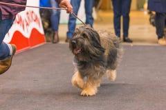 22th INTERNATIONAL DOG SHOW GIRONA 2018,Spain Stock Photography