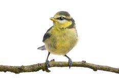 23蓝色分行日年纪栖息的山雀 库存图片
