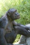 23黑猩猩 免版税库存图片