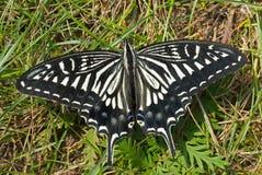 23 motyli papilio xuthus Obrazy Royalty Free