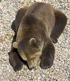 23 niedźwiadkowy brąz Fotografia Royalty Free