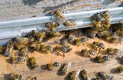 23 pszczół rój Fotografia Royalty Free