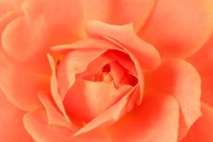 宏观脚蹬粉红色上升了 库存照片