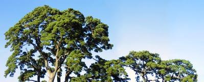 宽顶部结构树 免版税库存照片