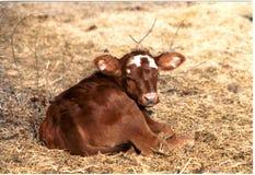 小小牛 免版税库存图片