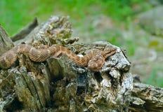 24 змейки venomous стоковая фотография rf
