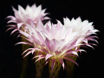 24 h of cactus flowers. Royalty Free Stock Photo