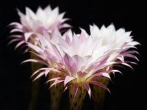 24 h van cactusbloemen. Royalty-vrije Stock Foto