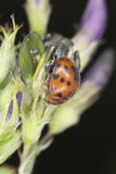 24-spot ladybird Royalty Free Stock Images