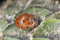 24-spot ladybird Stock Photography
