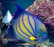 24 tropiska fisk Fotografering för Bildbyråer