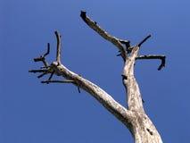 干燥结构树 免版税库存照片