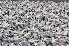 25,000 de Ganzen van de sneeuw tijdens de vlucht Stock Foto