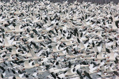 25.000 gansos de neve no vôo Foto de Stock