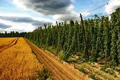 25 farmę chmielu Obraz Royalty Free