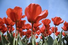 25 tulipan pola Fotografia Royalty Free