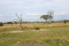 252 Wide landscape view of Mikumi National Park. Mikumi National Park in Tanzania Africa Stock Images