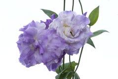 255 lisianthus bielowi przeciwko kwiat Fotografia Stock