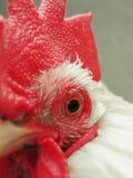 接近的雄鸡 免版税库存照片