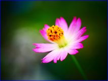25Jan2019 - wild cosmos royalty free stock images