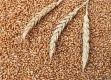 26麦子 免版税库存照片