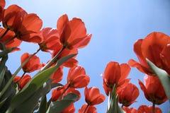 26 tulipan pola Zdjęcia Royalty Free