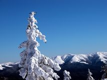杉树白色 免版税库存照片
