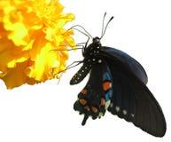 查出的蝴蝶 库存图片