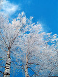 桦树冬天 免版税库存照片