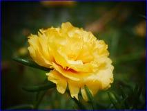 26Jan2019 - yellow moss rose purslane flower royalty free stock image