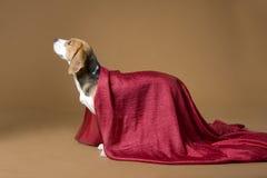 27 beagle Fotografia Stock