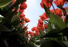 27 tulipan pola Zdjęcia Stock