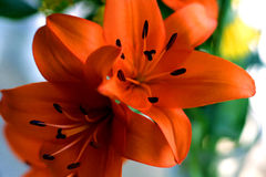 橙色的lillies 免版税图库摄影