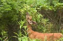母鹿提供 库存照片