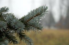 水的接近的小滴常青树 免版税库存图片