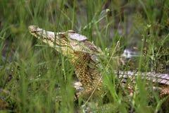 28 baby croc Royalty Free Stock Photo