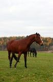 28 konia Zdjęcia Royalty Free