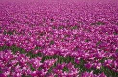 28 tulipan pola Zdjęcie Royalty Free
