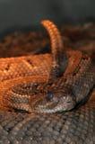 28 wąż Zdjęcie Stock