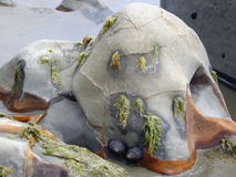 海藻冰砾包括海边 库存图片