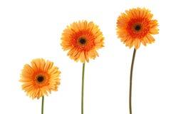 284 tres flores de la margarita Foto de archivo libre de regalías