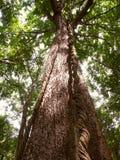 热带海拔低雨林的结构树 免版税库存图片