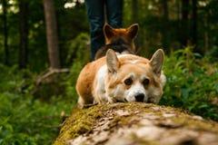 29条小狗pembroke威尔士 库存照片