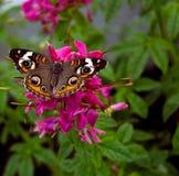 29 motyl Obrazy Royalty Free