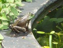 牛蛙 库存照片