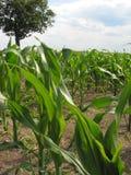 玉米feld 库存图片