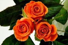 2a róże Fotografia Stock
