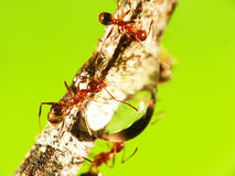 2mm ANT Royalty Free Stock Photography