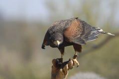 3个以鹰狩猎者哈里斯鹰 免版税库存照片