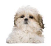 3个位于的月小狗shih tzu 免版税库存图片